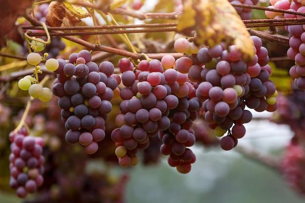 Пучки красного винограда Premium Фотографии