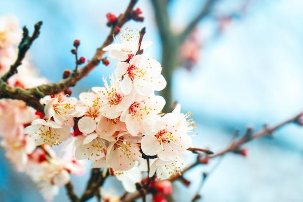 Абрикосовое дерево весной с красивыми цветами. садоводство. выборочный фокус. Premium Фотографии