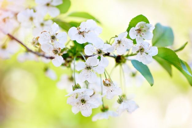 Красивые цветущие яблони в саду весной. закройте Premium Фотографии