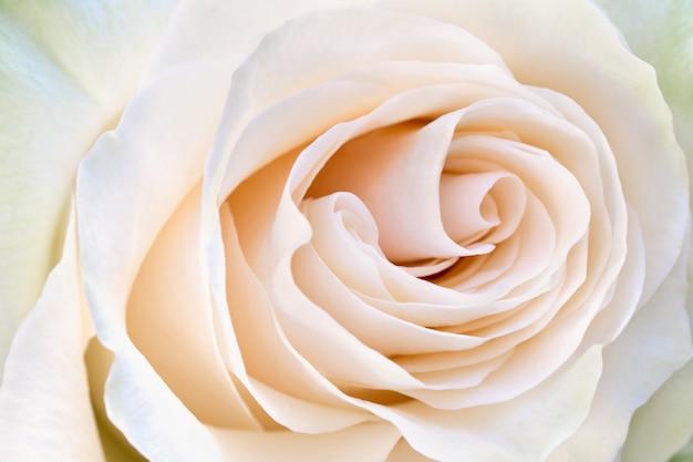 花びらクリーム色のバラのクローズアップ。やわらかさ咲くバラの花。 Premium写真
