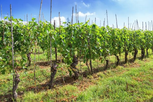 緑のブドウの栽培。ランゲ地方。 Premium写真
