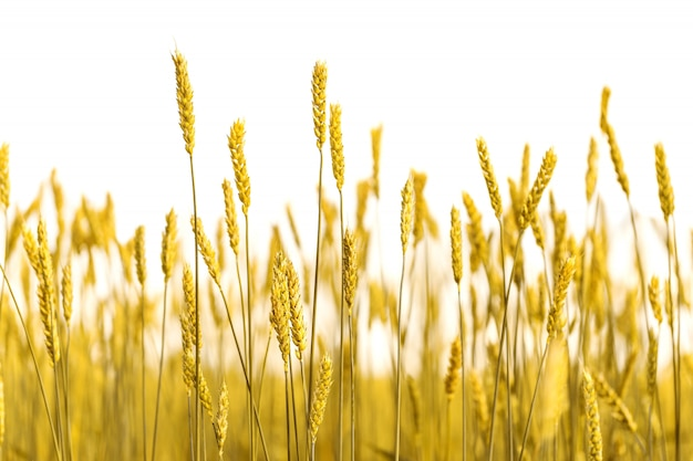 白い背景の上の金小麦の耳 Premium写真