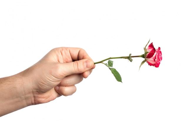 白地にピンクのバラと男の手 Premium写真