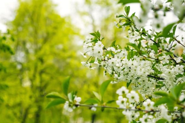 Ветка цвести яблоня и голубое небо с солнцем Premium Фотографии