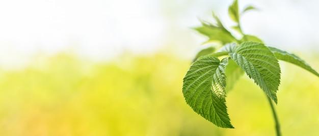 バナー。植物が開花する前に緑の葉とラズベリーの枝が庭でクローズアップ。 Premium写真