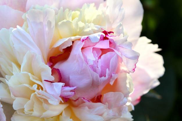 美しいピンクの牡丹の庭の花 Premium写真