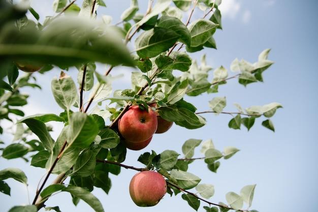 枝に赤いリンゴ Premium写真