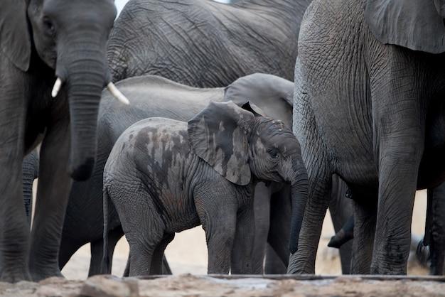 Слоненок гуляет в стаде Бесплатные Фотографии