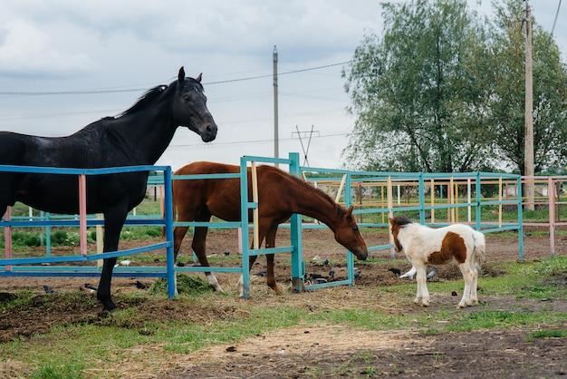美しく若いポニーが牧場の成馬に嗅ぎ、興味を示します。 Premium写真