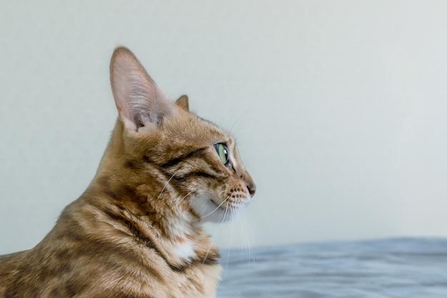 美しい斑点のあるベンガル猫が青いソファに横たわっています。側面図。 Premium写真