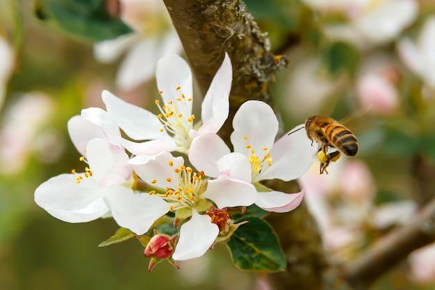 사과 나무의 흰 꽃에 날아 다니는 꿀벌 프리미엄 사진