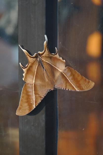 큰 갈색 나방이 문에 매달려 있습니다. 태국 북부에서 발견 된 밤 나비. 프리미엄 사진