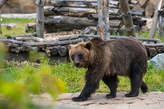 Бурый медведь гуляет летом по своему участку в зоопарке Premium Фотографии