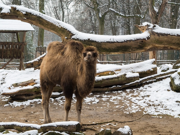 Верблюд с большими бревнами, покрытыми снегом Бесплатные Фотографии