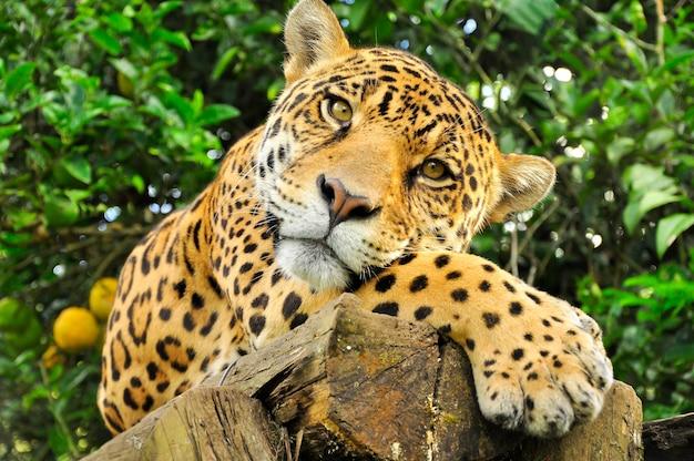 アマゾンの熱帯雨林のジャガーの成虫の頭のクローズアップ Premium写真