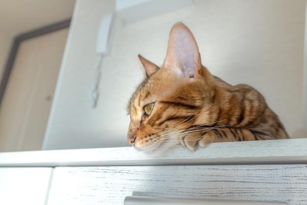 部屋のクローゼットにかわいいベンガル猫が休んでいます。 Premium写真
