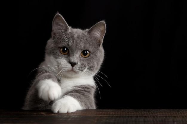 暗い壁にかわいい灰色の猫。ふわふわペット。 Premium写真