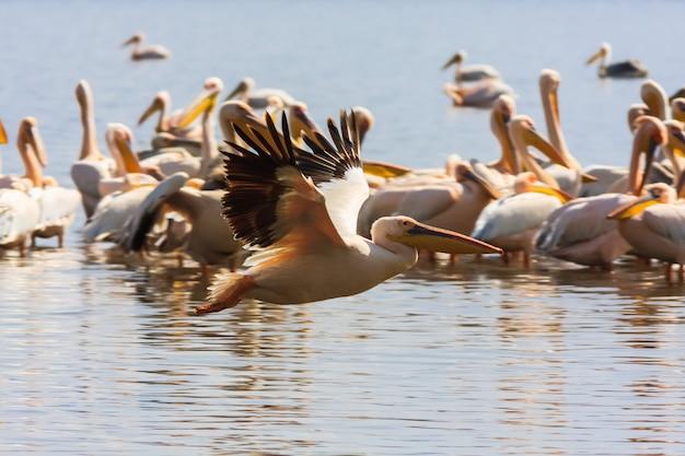 湖の岸にペリカンの群れ。ケニア、アフリカ Premium写真