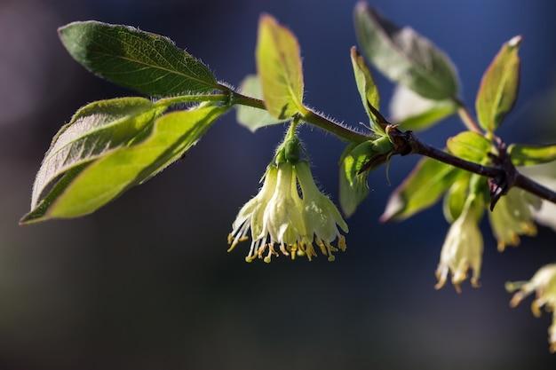 春の日に開花するスイカズラの茂み Premium写真
