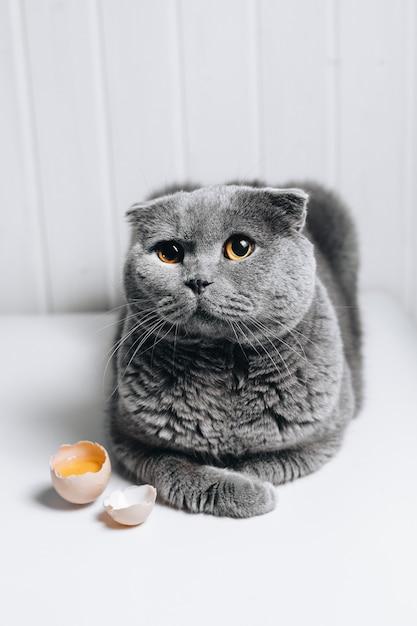 Серая кошка с милым взглядом сидит рядом с разбитым яйцом Premium Фотографии