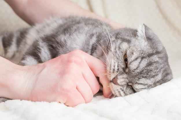 Серая полосатая шотландская вислоухая кошка кусает мужчину за руку Premium Фотографии