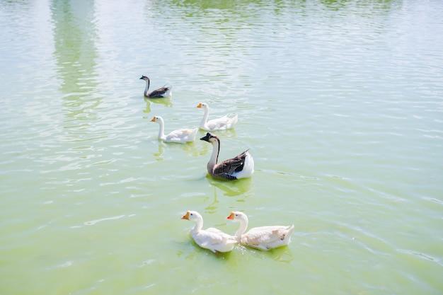 水に浮かぶカモのグループ Premium写真