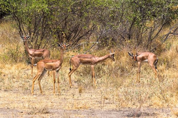 Группа газелей-жирафов в зарослях меру кения африка Premium Фотографии