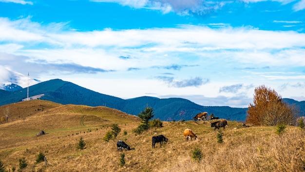 Стадо коров пасется на залитом солнечным светом и ест траву на фоне природы карпат и неба. Premium Фотографии