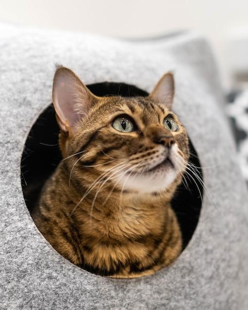 サバンナまたはベンガルの大型飼い猫が猫のベッドで繁殖します。 Premium写真