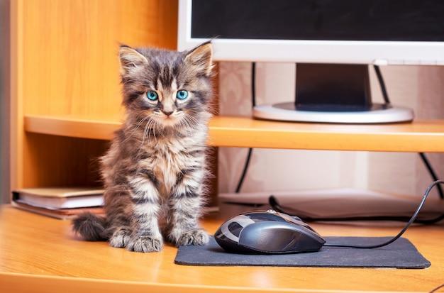 Маленький полосатый мохнатый котенок с голубыми глазами сидит возле компьютера. котенок возле компьютерной мыши Premium Фотографии