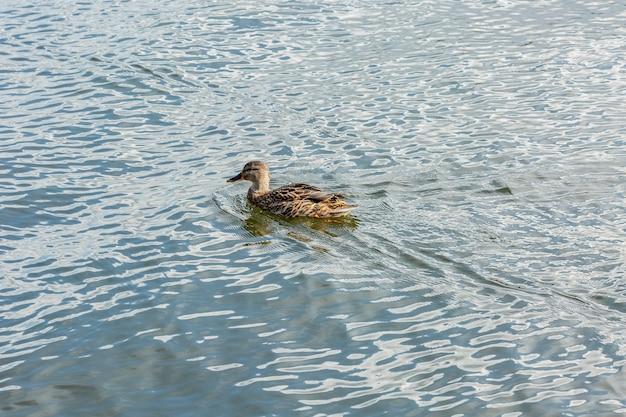 池に浮かぶ孤独な美しい渡り鳥のカモ、茶色の羽、黄色のくちばし Premium写真
