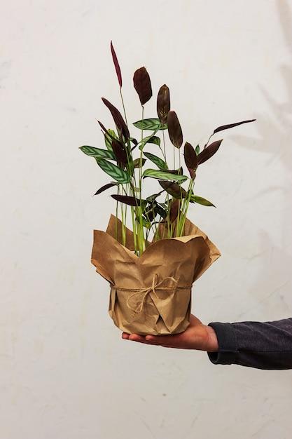 남자는 벽의 배경에 꽃이 든 냄비를 손에 쥐고 있습니다. 화분 용 친환경 포장. Ktenana 꽃 프리미엄 사진