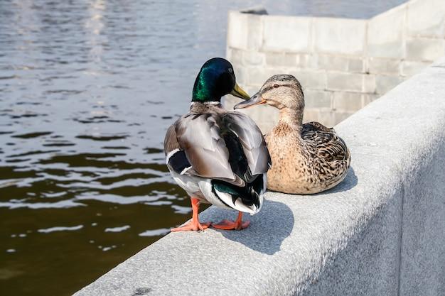 川沿いの石垣に座っているアヒルのペア Premium写真