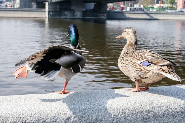 川沿いの街の石垣に立っているアヒルのペア。 Premium写真