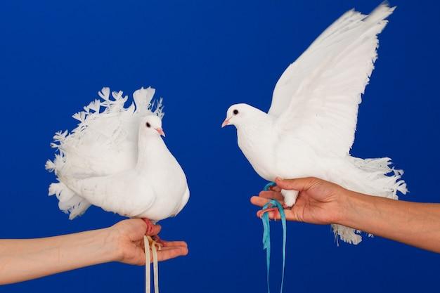 Пара белых голубей сидит на руках. Premium Фотографии
