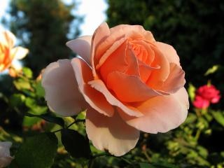 a rose is just a rose flowers photo free download