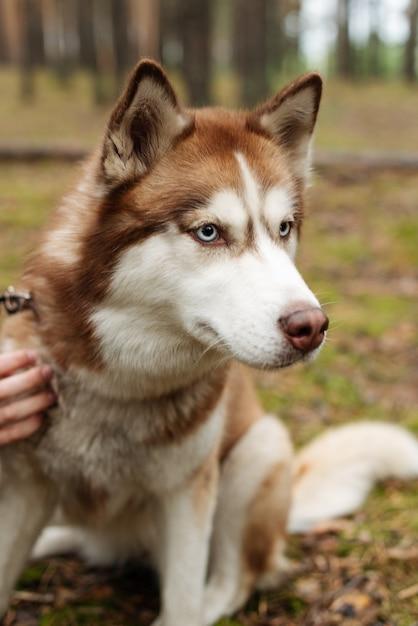 가죽 끈에 슬픈 개. 허스키가 숲을 걷는다. 숲에서 허스키와 함께 산책. 자연 속에서 강아지와 함께 산책. 프리미엄 사진