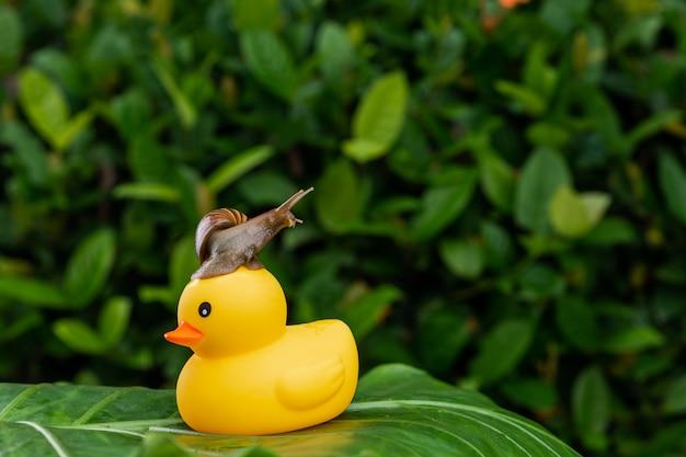 緑の濡れた葉美容概念の中で緑の葉でポーズをとって黄色の小さなゴム製のアヒルの上部に座っている小さなアチャティナカタツムリ Premium写真