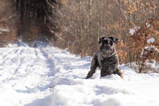겨울 눈 덮인 숲을 걷는 작은 검은 개 프리미엄 사진