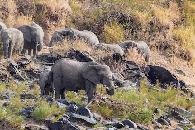 Небольшое стадо слонов на берегу реки масаи мара кения африка Premium Фотографии