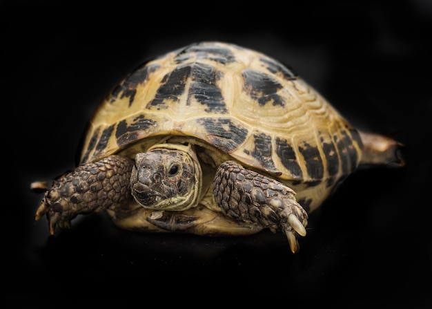 Черепаха изолирована на черном Premium Фотографии