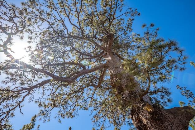 テネリフェ島のテイデ山の森を抜けるトレッキングの木 Premium写真
