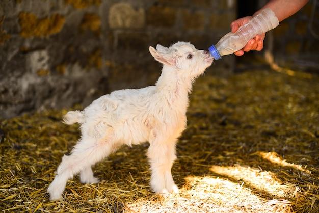 Белый козленок пьет молоко из бутылочки Premium Фотографии