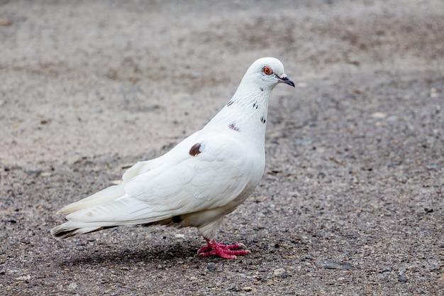 アスファルトの街の白い鳩が食べ物を探しています Premium写真