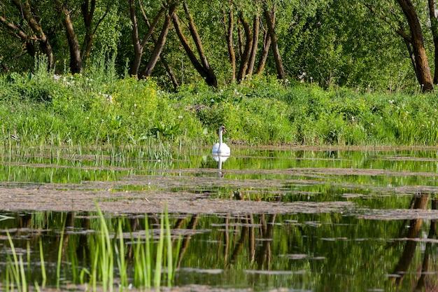 작은 호수에 떠있는 하얀 백조. 봄. 해안에는 푸른 잔디, 사초 및 나무가 자랍니다. 프리미엄 사진