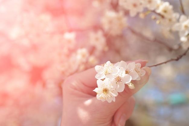 Женская рука с французским маникюром держит ветку сакуры. Premium Фотографии