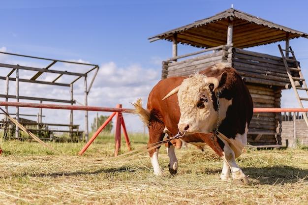 Молодой коричневый бык пасется на зеленом летнем лугу на фоне деревянных построек Premium Фотографии