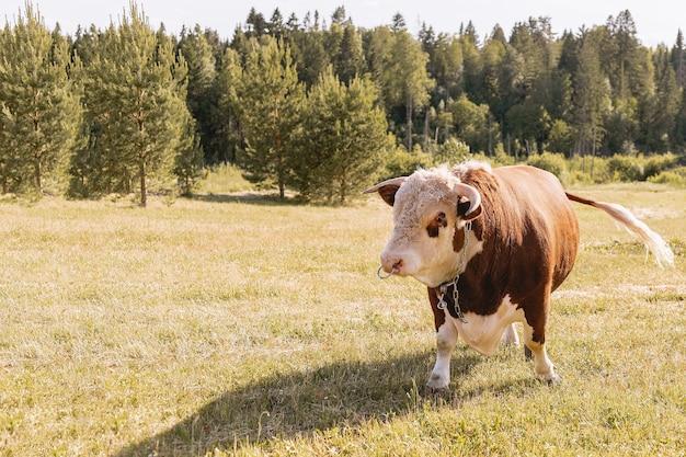 Молодой бык с коричневым окрасом пасется на зеленом летнем лугу на фоне леса, Premium Фотографии