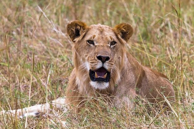 草の上で休んでいる若いライオンサバンナマサイマラケニアアフリカ Premium写真