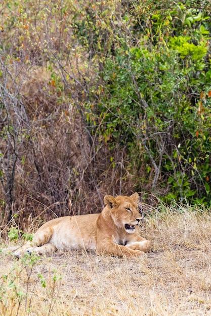 厚い茂みケニアアフリカの若い雌ライオン Premium写真